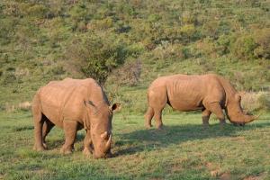Rhinos gibt es in Pilanesberg eine Menge zu sehen