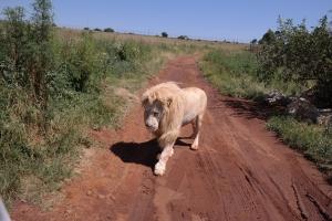 Einer der weißen Löwen