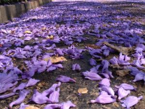 Es regnet lila Blüten