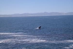 Nicht weit vom Ufer springt der Wal immer wieder aus dem Wasser